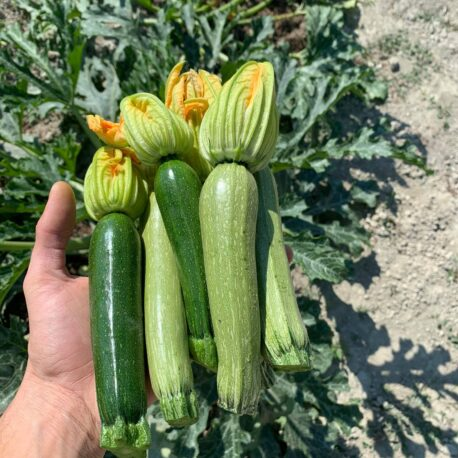vendita zucchini cuneo azienda sativus